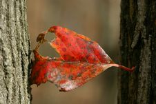 Free Red Leaf Hanging On Royalty Free Stock Images - 919809