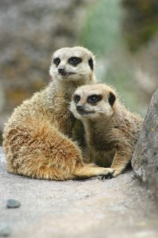 Free Meerkat Twins Stock Photos - 919973