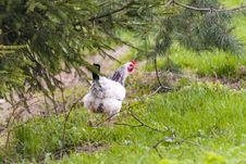 Free Hen Stock Photos - 91031503