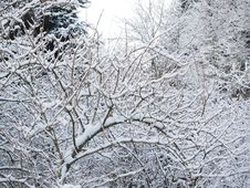 Free Snow Covered Branches Royalty Free Stock Photography - 91054307