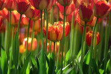 Free Yellow Red Tulips Royalty Free Stock Images - 91055029