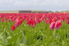 Beautiful Flower Field In Spring Time In The Netherlands Stock Images