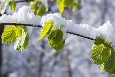 Free Snow Capped Leaves On Branch At Daytime Stock Photo - 91105470