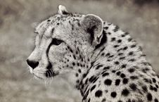 Free Portrait Of Cheetah Stock Photos - 91107333