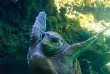 Free Sea Turtle Underwater Stock Photography - 91175092
