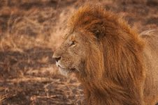 Free Portrait Of Male Lion Royalty Free Stock Photos - 91248308
