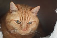 Free Close Up Photo Of Orange Tabby Cat Royalty Free Stock Photography - 91446957