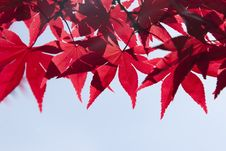 Free Red, Leaf, Maple Leaf, Tree Royalty Free Stock Photo - 91449395