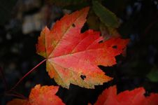 Free Autumn Leaves Royalty Free Stock Image - 91519336