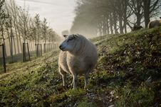 Free Sheep In Green Field Royalty Free Stock Image - 91519696