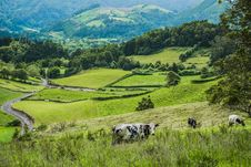 Free Cows On Green Hillside Stock Images - 91519994