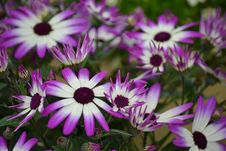Free Violet And White Flowers Royalty Free Stock Image - 91520146