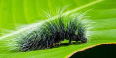 Free Black And White Hairy Caterpillar On Top Of Green Leaf Royalty Free Stock Photography - 91631117