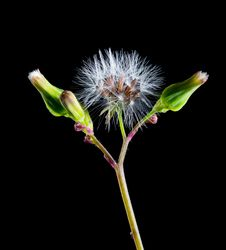 Free White Dandelion And 2 Green Buds Againts Black Background Royalty Free Stock Image - 91631146