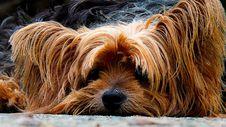 Free Close Up Photo Brown Long Coat Dog Royalty Free Stock Images - 91631199