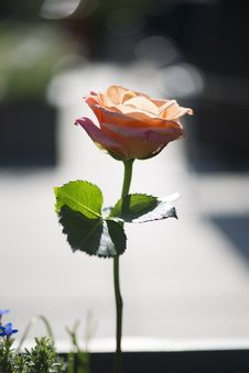 Free Orange Rose Royalty Free Stock Photo - 91664875