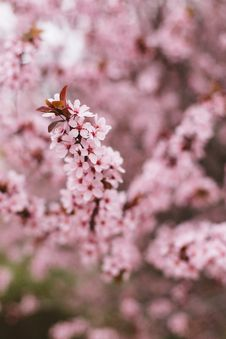 Free Pink Cherry Blossom Stock Photo - 91665990