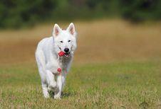 Free White Dog Running Over Green Grass Stock Image - 91666161