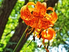 Free What S Up, Tiger Lily Stock Photography - 91755882