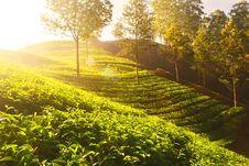Free Tea Plants On Terrace Farm Stock Photography - 91760752