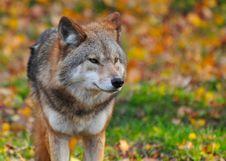 Free Portrait Of Wolf Stock Image - 91761041