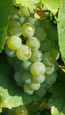 Free Grapes On The Vine  Stock Image - 91761191