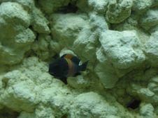 Free Aquarium Fish 40 Stock Image - 91770781