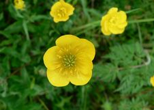 Free Buttercup 2 Royalty Free Stock Photo - 91772285