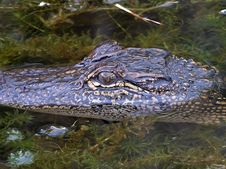 Free Gator 2 Royalty Free Stock Photography - 91778187