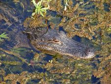 Free Gator 4 Royalty Free Stock Image - 91778236