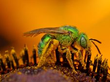 Free Green Sweat Bee Stock Images - 91779094