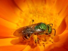Free Green Hornet Stock Image - 91779111