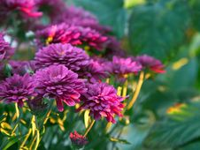 Free Mums Flowers Stock Images - 91783124