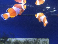Free Nemo Clown Fish Royalty Free Stock Images - 91783239