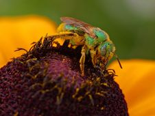 Free Pollen And Sweat Bees Royalty Free Stock Photography - 91785037