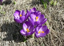 Free Purple Crocus 2 Royalty Free Stock Images - 91785249