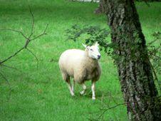 Free Running Sheep Royalty Free Stock Photo - 91786515