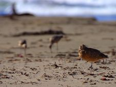 Free Sand Piper Royalty Free Stock Image - 91786696