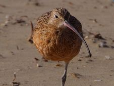 Free Sand Piper 2 Stock Images - 91786714