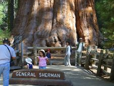 Free Sherman Tree 2 Stock Photo - 91787230