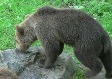Free Sniffing Bear Stock Image - 91787961