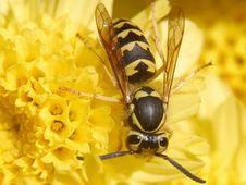 Free Wasp Royalty Free Stock Image - 91791536