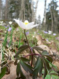 Free Wood Anemone Royalty Free Stock Image - 91791666