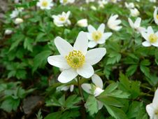 Free Wood Anemone 3 Stock Photos - 91791823
