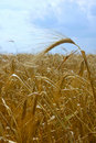 Free Wheat Field Royalty Free Stock Photos - 925168