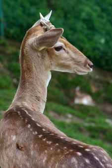 Free Deer Stock Photography - 920042