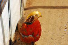 Free Golden Pheasant Stock Photo - 920390