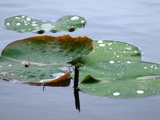 Free Dew On Waterlilly Leaves Stock Image - 920591