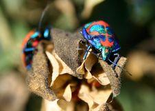 Free Harlequin Cotton Bug Royalty Free Stock Photo - 920595