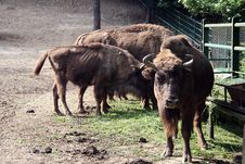 Free European Bison Royalty Free Stock Photography - 920737